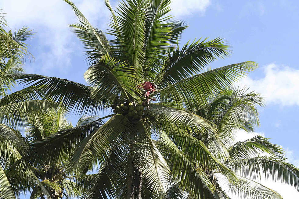 Harvesting baby coconuts